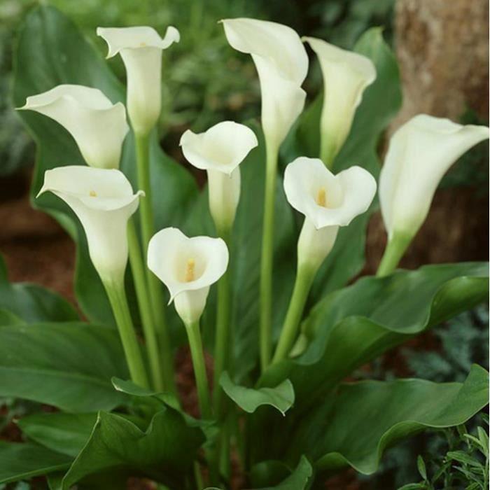 10PCS Élégante fleur noble, plantes à donner décoration de jardin, Graines de fleurs de jardin vivaces