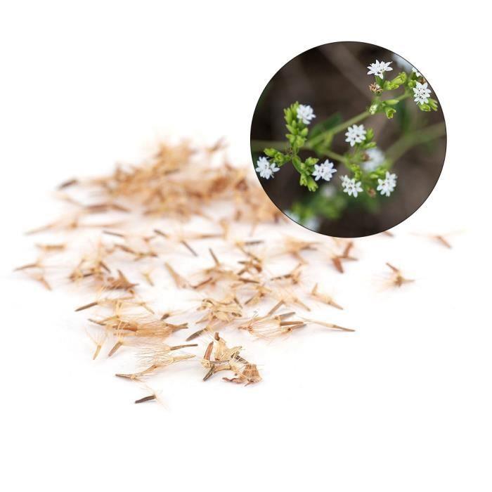 50pcs Stevia Rebaudiana Graines Édulcorant Naturel -LON