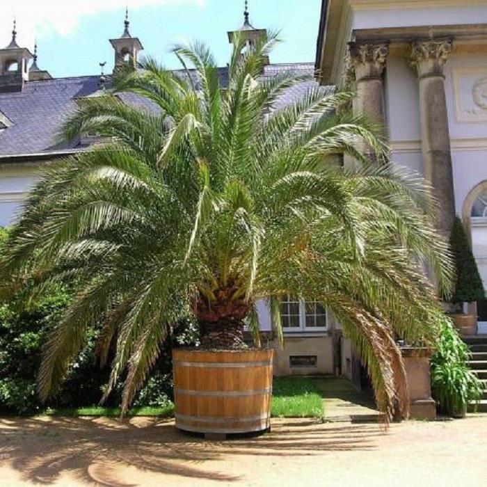 Palmier dattier des Canaries-Phoenix canariensis-Hauteur du plant:30/40 cm-Plant en pot de 1,5 litre-Croissance rapide
