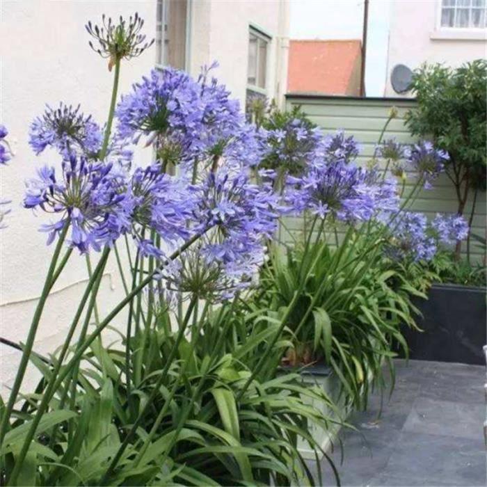 TEMPSA 30 Pcs Graine de fleur Agapanthe lis jardin maison