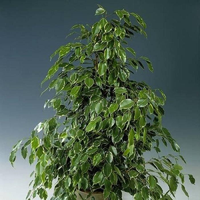 Ficus 'Golden King'-Feuilles bicolores vert et blanc-Plante d'intérieur-Diam.pot: 12 cm Hauteur plante: 20/30 cm-Croissance rapide
