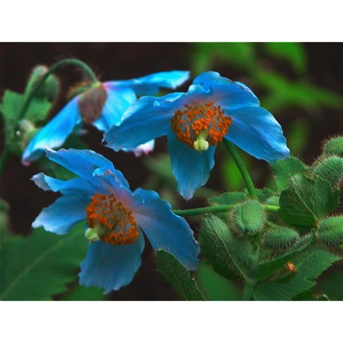 Lot de 100 graines de Pavot bleu - plantes vivaces