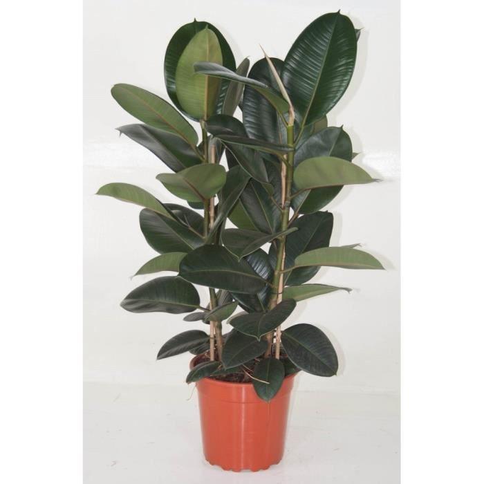 Plante caoutchouc-Ficus Elastica Robusta-Plante d'intérieur-Livrée hauteur 30-50cm-Feuillage brillant-Capacité dépolluante