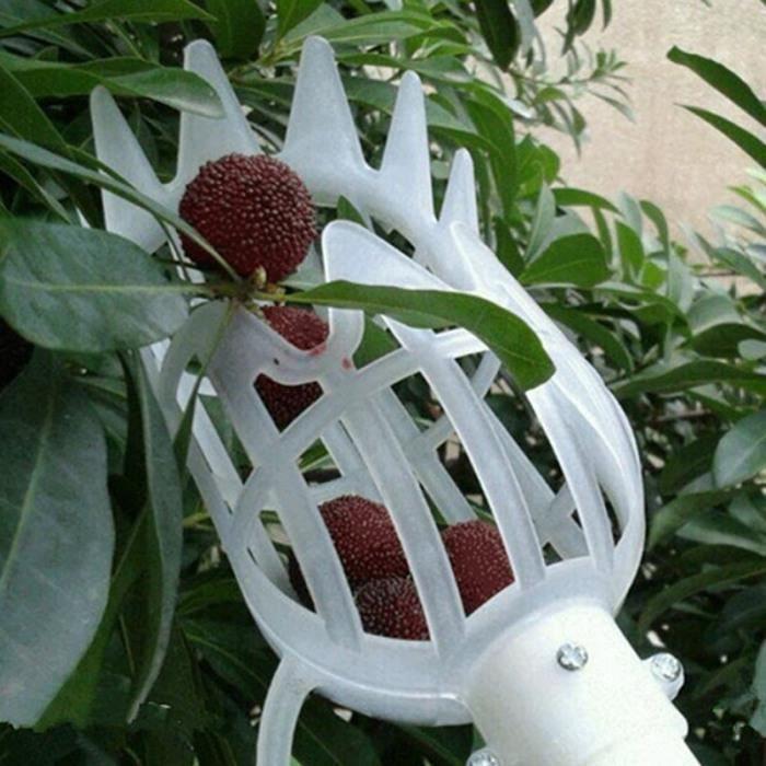 Cueillir le fruit blanc