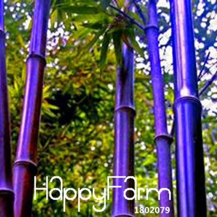 Offre Spéciale! Rare Pourpre Timor Bambou Plantes Bambusa Noir Bonsaï Planté Cour Yi 100 Pcs-Paquet, # Ftttle #37