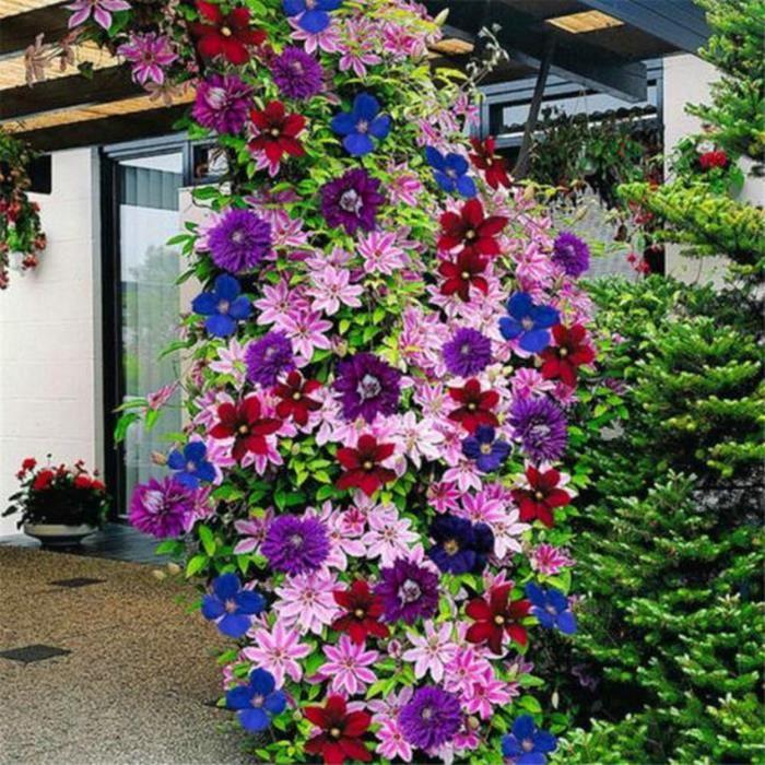 50 pcs 24 couleurs belle clématite fleur clématite plantes grimpantes graines