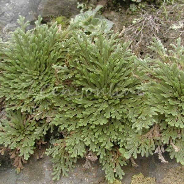 1Pc Rose de Jericho Préhistorique Dinosaure Plant Moss Live Résurrection Jardin