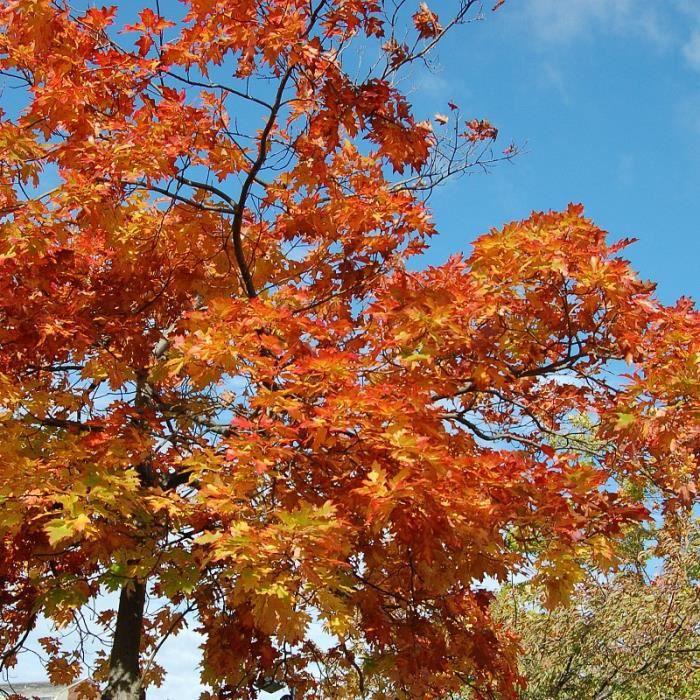Quercus rubra - Chêne rouge d'Amérique en racines nues - Achat ...