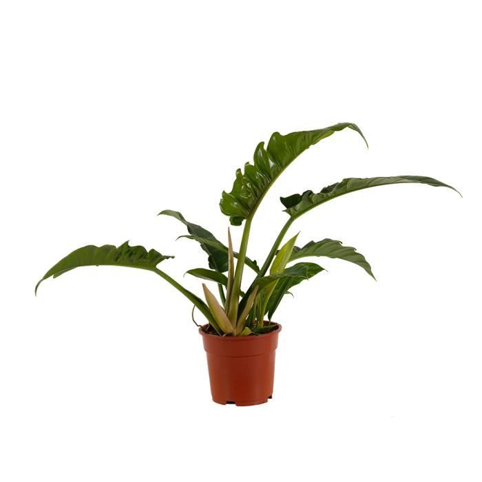 Plante d'intérieur – Philodendron stenolobum Narrow Escape – Hauteur: 40 cm plante naturelle
