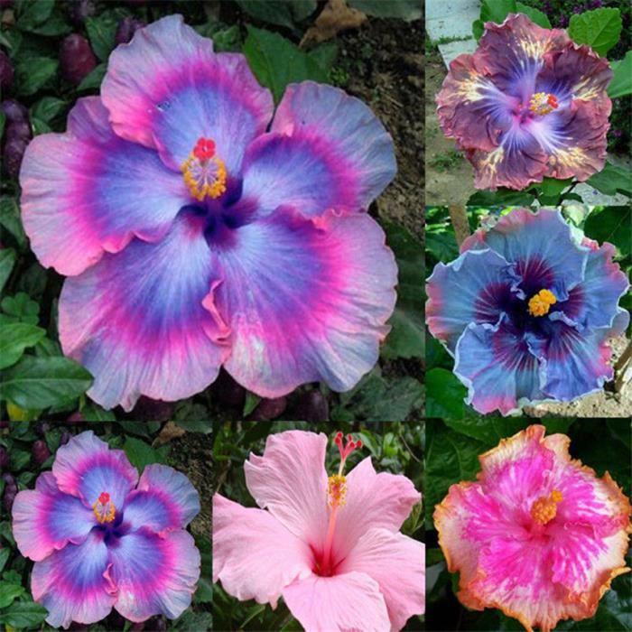 100 pcs Rare Bleu Géant Hibiscus Exotique Corail Semences Maison Jardin Fleurs Décor