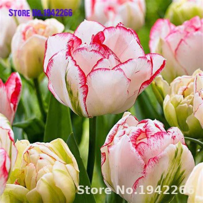 Version Multi-couleur - 100 Pièces Chaud Arc-En-Ciel Tulipe Bonsaï Fleurs Rares Plantes Vivaces Cadeau Pour La Maison Jardin Cour