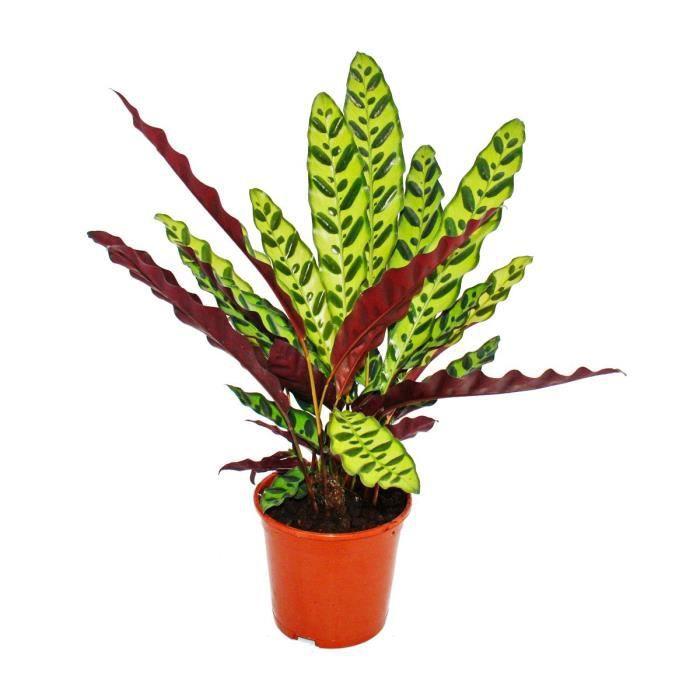 Plante d'ombre à motif de feuilles inhabituel - Calathea lancifolia - pot de 14cm - hauteur env. 50cm