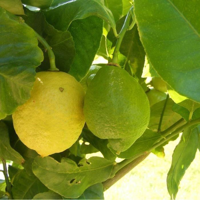 Citronnier des quatre saisons - Citrus lemon - Cit
