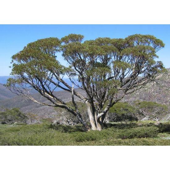 Semences décoratif Plantes Graines Jardin Arbre Neige-Eucalyptus Semences
