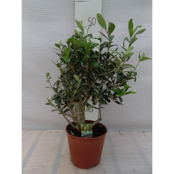Olivier - Olea europaea - Hauteur totale: 45+cm, Pot: P15