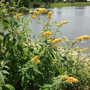 ARBRE - BUISSON Buddleia jaune-WEYERIANA SUN GOLD – ARBRE AUX PAPI