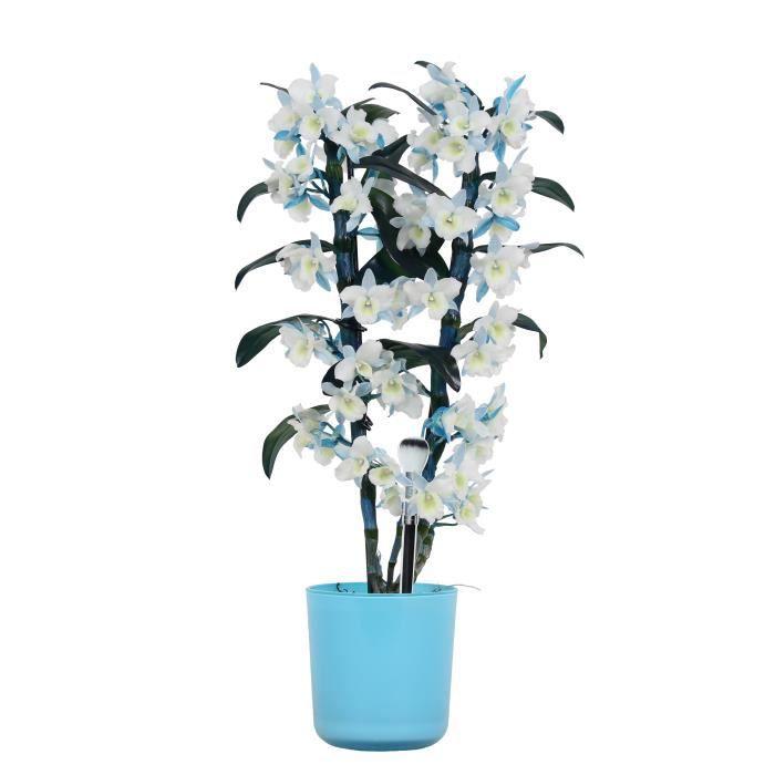 Orchidée de Botanicly – Bambou Orchidée en pot de fleur bleu comme un ensemble – Hauteur: 50 cm, 2 pousses, fleurs... plante naturel