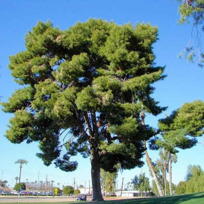 Pin d'Alep (Pinus Halepensis) Jeune plant en godet 20/40 cm