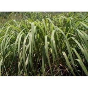 DÉFENSE IMMUNITAIRE  Citronnelle  plante 250 GRS Cymbopogon citratus...