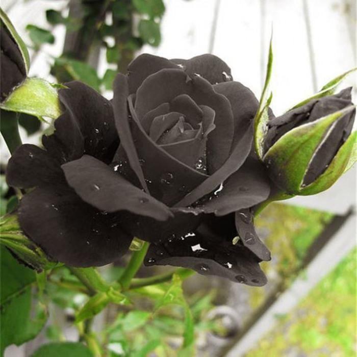 Version 100pcs rose - En Solde!!! 1000 Particules-Sac Chinois Noir Rose Amant Fort Parfumé Jardin Fleur Magnifique Coupée #87 #97