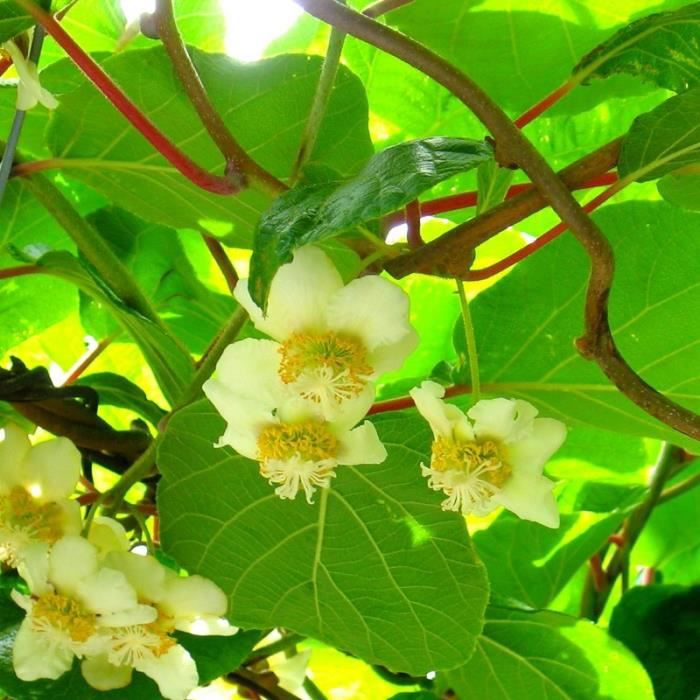 actinidia chinensis tomuri kiwi m le pollinisateur achat vente arbre buisson actinidia. Black Bedroom Furniture Sets. Home Design Ideas