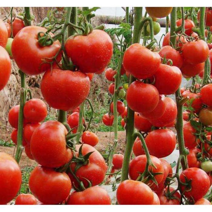 TOMATE ARC EN CIEL beaucoup couleurs 50 graines seeds