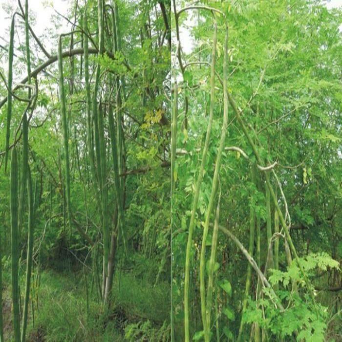 10 Pcs Graines rare Moringa jardin extérieur arbre Wir57