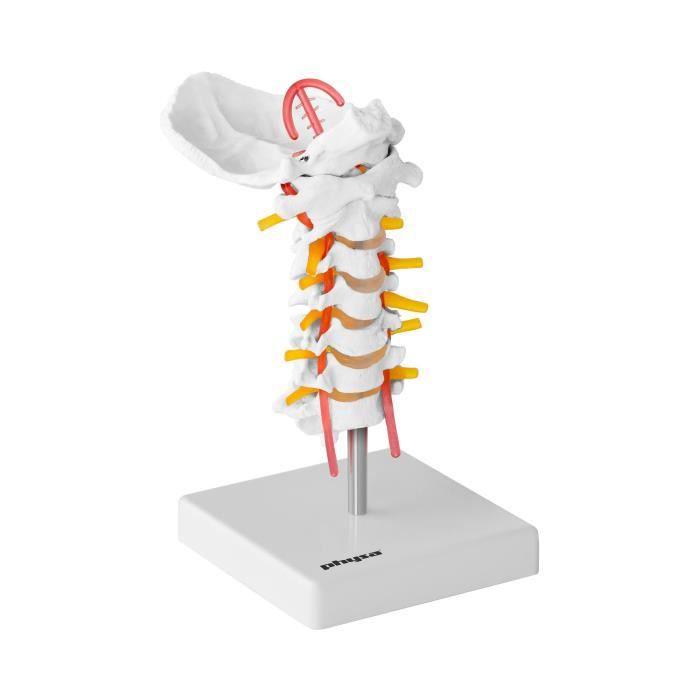 Maquette anatomique vertèbres du cou Échelle : 1:1 PVC Structure flexible en acier Hauteur env. 10 cm PHY-SM-3 Physa