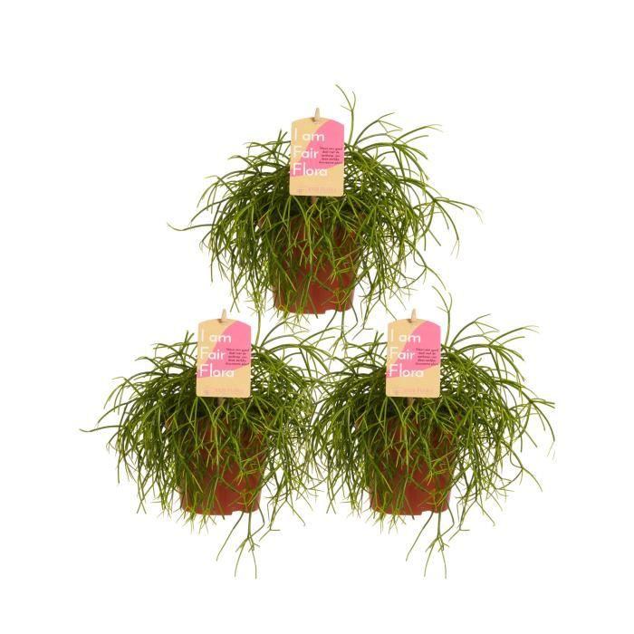 Rhipsalis - Plante succulente - 3 plantes - plante d'intérieur- hauteur 20 cm - Pot 12 cm - Entretien facile
