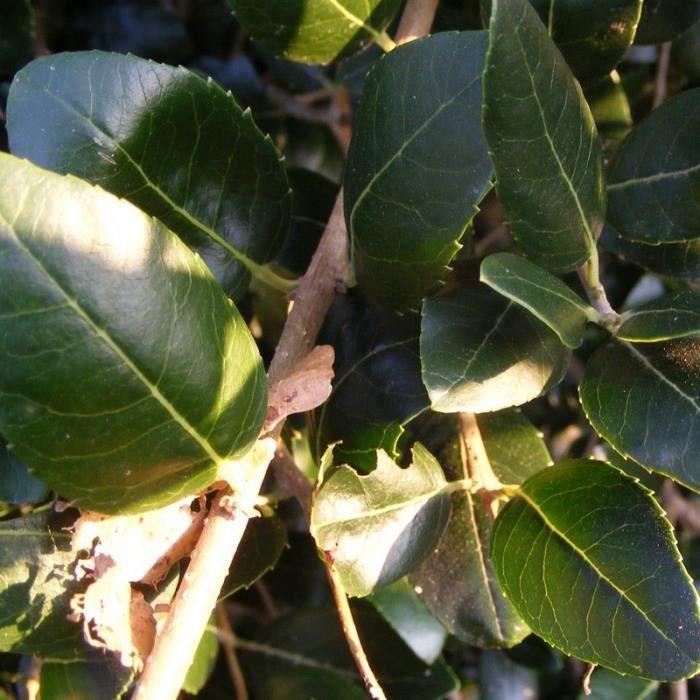 Phillyrea Latifolia Filaria Blanc Filaire à Feuilles