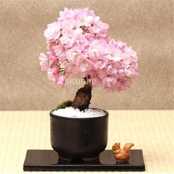 Version 1 - Bonsaï Japonais Sakura Bonsaï, Fleur De Cerisier Pour La Maison Et Le Jardin Pièces #95 #51