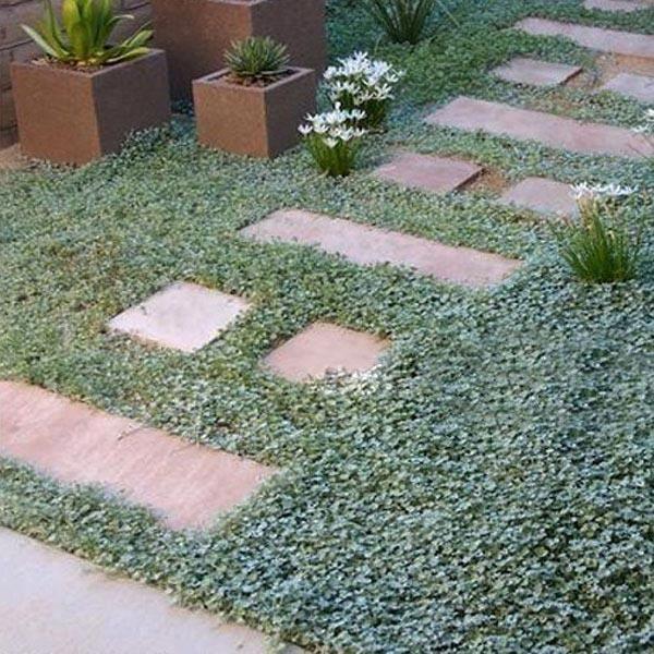 10pcs Graines rares de plant jardin Dichondra repens Forst Ro01481