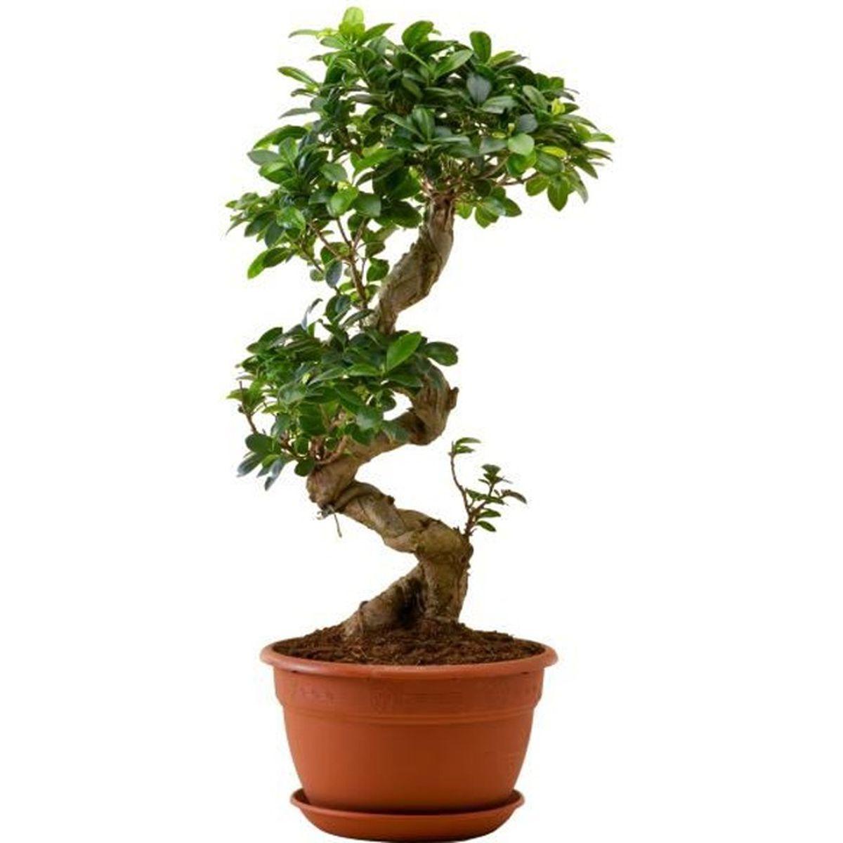 Plante Haute En Pot ficus ginseng bonsai | plante verte | plante d'intérieur
