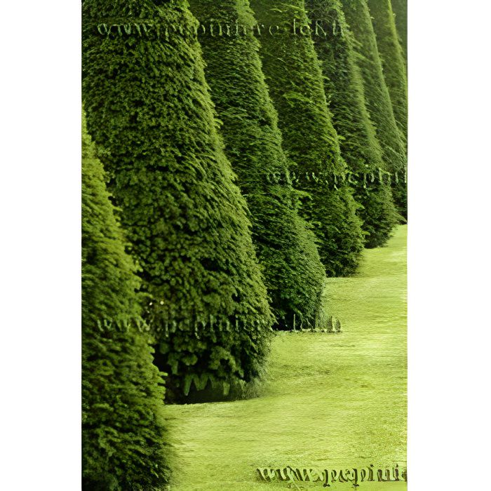 If TAXUS BACCATA - haie arbuste persistant