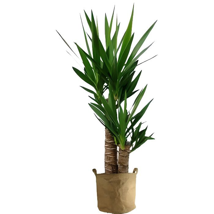Yucca 70cm