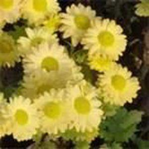 ARBRE - BUISSON Chrysantheme  'Gold Marianne' jaune