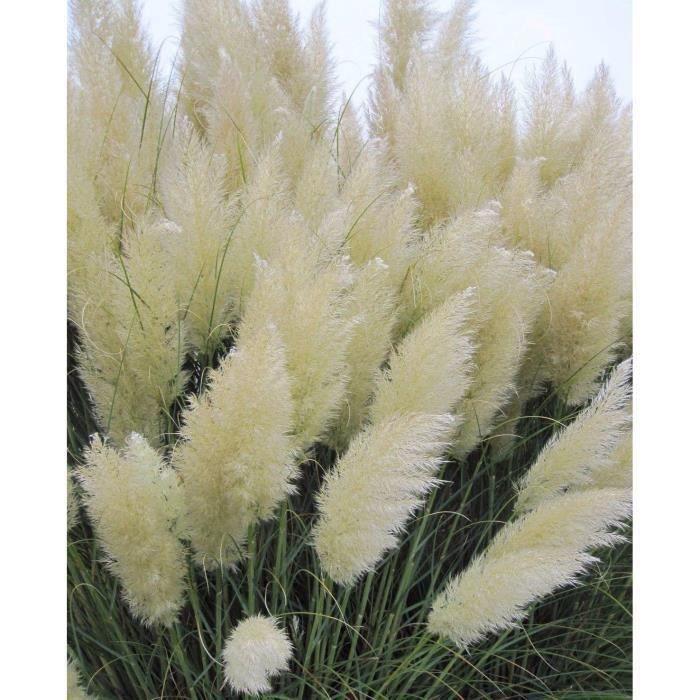 Herbe Pampas Cortaderia Selloana Graines Rare Fleur Pour Maison Jardin Décor 1000pcs, Couleur Blanc