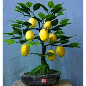 10Pcs Rare Kaffir Lime Graines Arbre Jardin