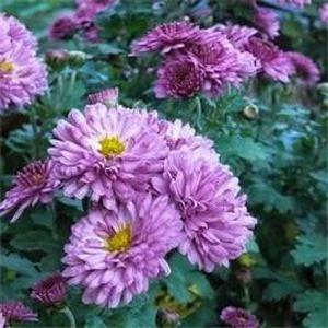 ARBRE - BUISSON Chrysantheme 'Mei-Kyo' pourpre