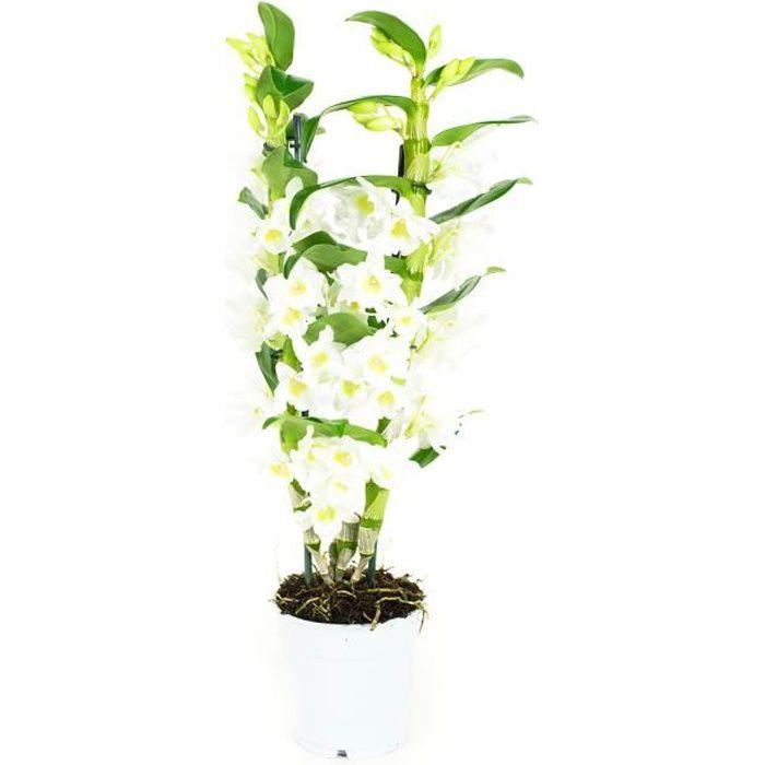 Orchidée de Botanicly – Bambou Orchidée – Hauteur: 60 cm, 2 pousses, fleurs blanches – Dendrobium Nobile Apollon plante naturelle
