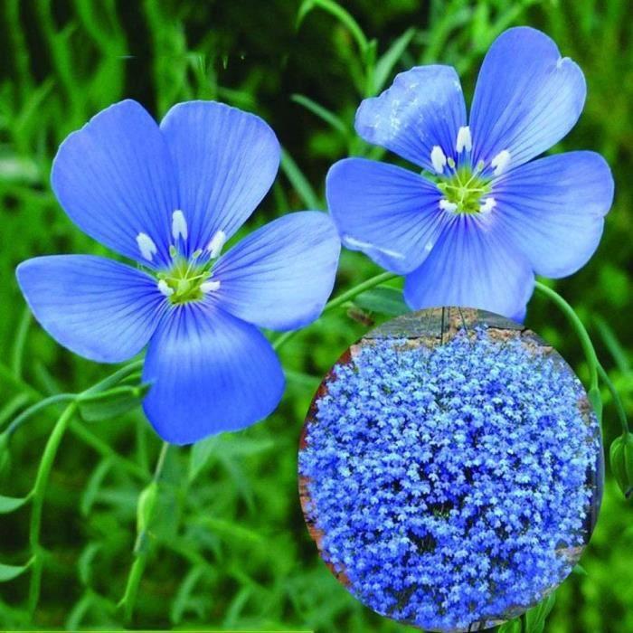 Jardiniere balcon HTHJA Graines de Parfum rares,Graines de Fleurs de Lin &agrave Fleurs Bleues vivaces pour la Plantation en Pot277