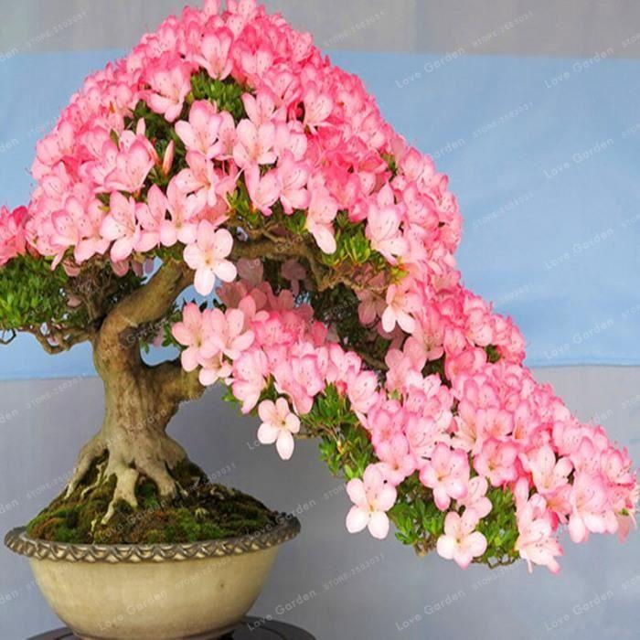 Version 8 - Rare Sakura Bonsaï Fleur Cerisier Fleurs Arbre Plantes Pour La Maison Jardin Pièces #11 #55