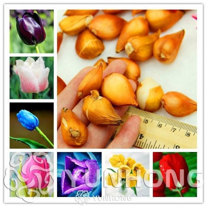 Version MIX - Pcs-Lot Rare Tulipe Ampoules Disponibles Tulipes Variété Frais Bulbe Racine Fleurs Haute Qualité Fleur Bonsaï #73