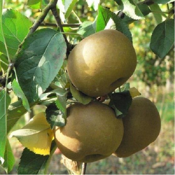 Pommier Reinette du Canada-Livré Godet / Hauteur:40-50cm-Très productif- Robuste-Pommes bonnes crues-Chair fine, sucrée et parfumée