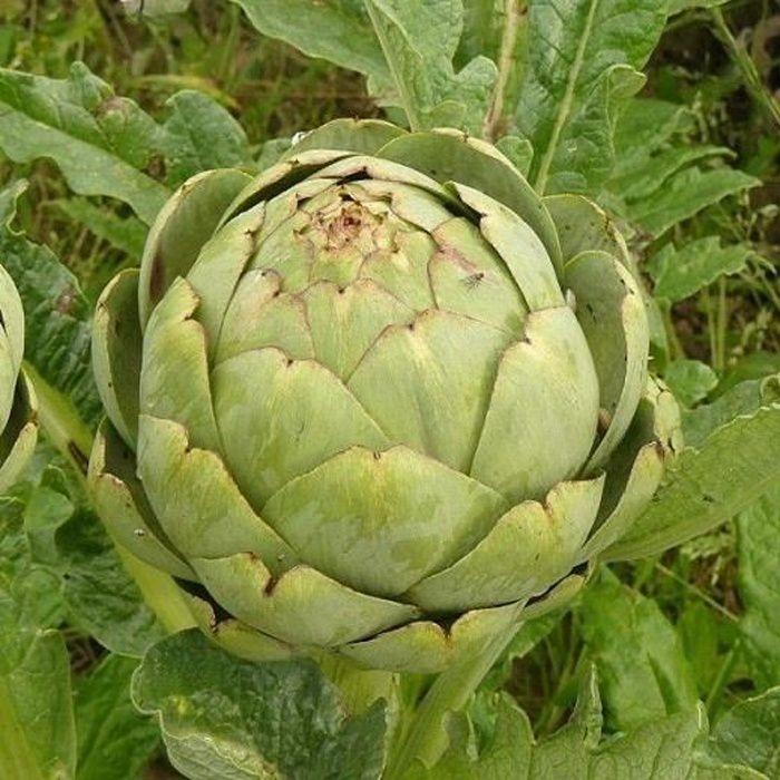 graines 100 graines artichaut vert de laon - semence - semis