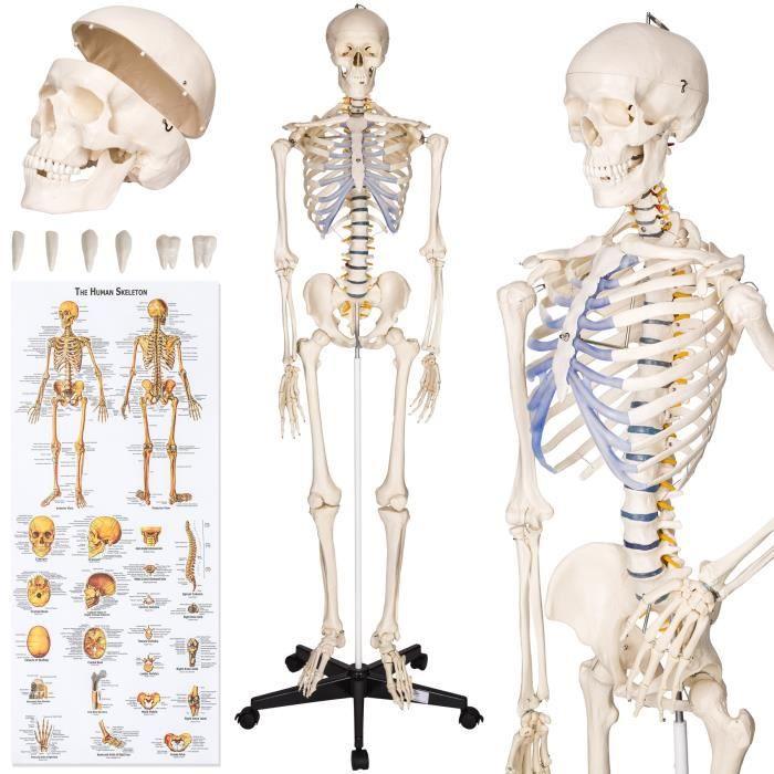 SQUELETTE - CHAINE ADN TECTAKE Squelette Taille Grandeur Nature, Modèle A