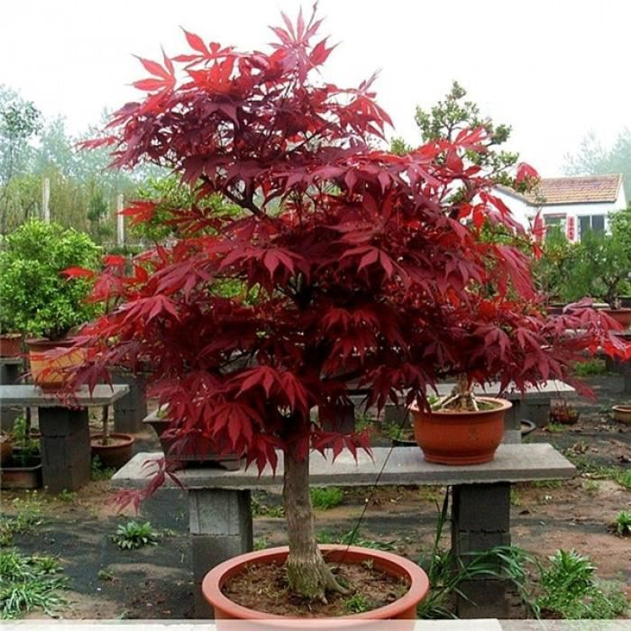 100 Pcs-Pack Té! Érable Japonais Rouge Belle Plante Arbre Flores Bonsaï Jardin Décor Bricolage Maison #88