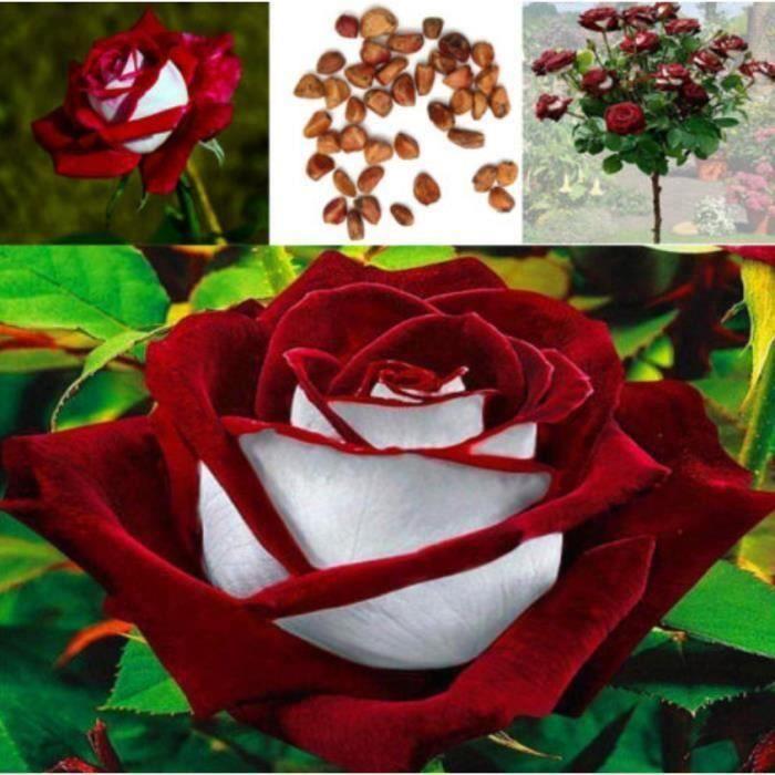 100pcs graines Rose rares graines de fleurs rouges et blanches