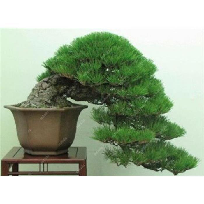 Version 1 - 0 Pièces Mini Noir Pin Bonsai, Plantes D\'Intérieur  Radioprotection Bonsaï Japonais Pour La Maison Jardin Plante En Pot