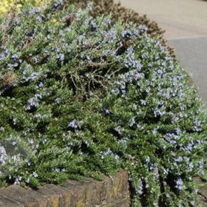 Romarin - Port semi-prostré - Bleu soutenu (Rosmarinus Officinalis 'Corsican Blue') Jeune plant en godet 13/25 cm
